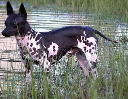 Rat Terrier Excessive Shedding by American Hairless Terrier Breed Information History Health