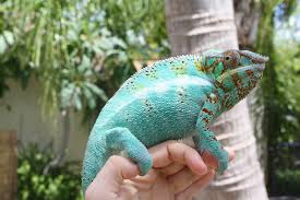 Basking Lamp For Chameleon by Much Ado About Chameleons Thoughts On Handling How To Tame A