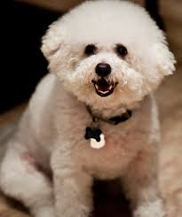 Small White Non Shedding Dog Breeds by Bichon Wikiwand