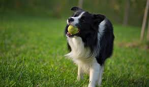 Do Blue Heeler Border Collies Shed by Border Collie Dog Breed Information