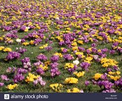 mass planting of crocus bulbs in flower across grass lawn stock