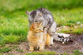 cats mating when do cats start mating the answers you need to