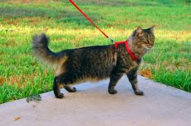 Stepping Out With Kitty | The Pet Show With Warren Eckstein Do Female Dogs Get Periods How Often And Long Does The Period Dsc3763jpg The Best Retractable Dog Leash In 2017 Top 5 Leashes Compared Please Fence Me In Westward Ho To Seattle Traing Talk Teaching Your Come When Called Steemit For Outside December Pet Collars Chains At Ace Hdware Biglarge Reviews Buyers Guide Amazoncom 10 Foot With Padded Handle For Itt A Long Term Version Of I Found A Rabbit Wat Do