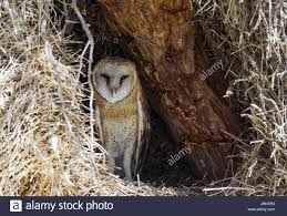 African Barn Owl Stock Photos & African Barn Owl Stock Images - Alamy Barn Owl Perching On A Tree Stump Facing Forward Stock Photo The Owls Of Australia Australian Geographic Audubon Field Guide Beautiful Perched 275234486 Barred Owl Vs Barn Hollybeth Organics Luxury Skin Care Why You Want Buddies Coast News Group Sleeping By Day Picture And Sitting Venezuela 77669470 Shutterstock Rescue Building Awareness Providing Escapes And Photography Owls Owlets At Charlecote Park Barnaby The Ohio Wildlife Center