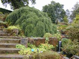 Image Of Dwarf Weeping Trees For Landscaping