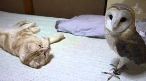 My Barn Owl And Cat - YouTube Barn Owl New Zealand Birds Online Audubon California Starr Ranch Live Webcams Barn Red My Pet Pupo The Barn Owl Mouse Youtube Babyowl Explore On Deviantart Adopt An The Wildlife Trusts Wikipedia Owlrodent Research Project Vineyard Owl Lookie My Pet Growing Up Growing Up Album Imgur Made Out Of Wood And Plant Materials I Found At Parents
