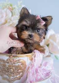 Do Morkies Shed A Lot by Teacup Yorkies For Sale By Teacups Puppy Boutique Teacups