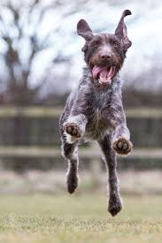 Best Hunting Dogs That Dont Shed by German Wirehaired Pointer He U0027s So Cute He Looks Like An Old Man