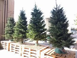 Noble Fir Christmas Tree Costco 1