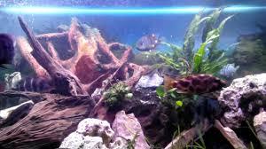 malawi chiclid 450liter tank with philips tropical aquarium