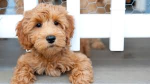 Quiet Small Non Shedding Dog Breeds by 15 Dog Breeds That Can Be Left Alone Barking Royalty