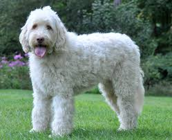 Non Shedding Large Dogs by Sporting Dog Breeds That Don T Shed Breed Dogs Picture