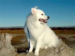30 Dog Breeds That Shed The Most by American Eskimo Dog Breed Information Pictures Characteristics