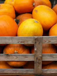 Connecticut Field Pumpkin For Pies by How To Harvest Pumpkins And Store The Seeds Hgtv
