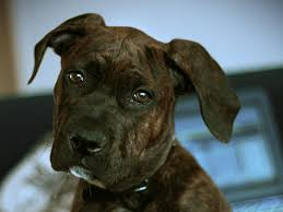 Cane Corso Italiano Shedding by Brindle Cane Corso Puppy Who Let The Dogs Out Pinterest
