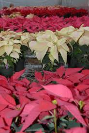 100 Open Houses Baton Rouge LSU AgCenter Poinsettia Open House Set For Dec 2 In