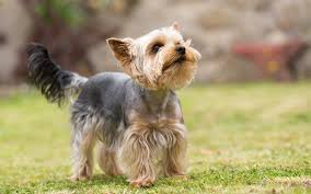 10 Dog Breeds That Shed The Most by Dogs That Shed The Most And Least 53 Images Top 21 Dogs That