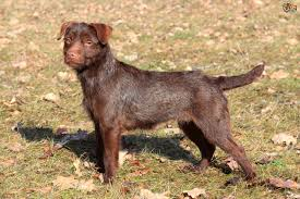 patterdale or border terrier which is the quieter of the two