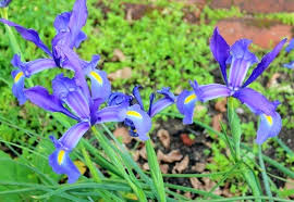 iris bulbs bearded iris iris bulbs for sale australia