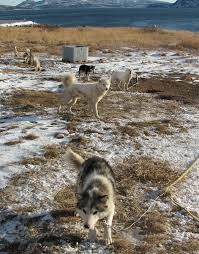 American Eskimo Shedding Problem by Labrador Husky Wikipedia