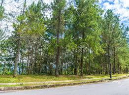 100 Casuarinas Pine Casuarina Tree And Asphalt Road With Blue Skies