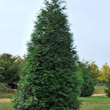 Leyland Cypress Christmas Tree by Trees Trees U0026 Bushes The Home Depot