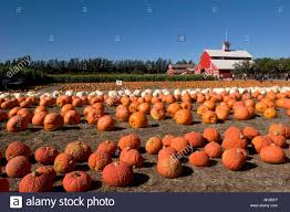 Half Moon Bay Pumpkin Patches 2015 by Pumpkin Patches Stock Photos U0026 Pumpkin Patches Stock Images Alamy