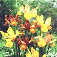 iris hollandica discovery 10 flower bulbs buy order now