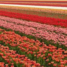 100 tulip bulbs apeldoorn elite darwin hybrid yellow bulk