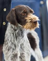 German Wirehaired Pointer Shedding by German Wirehaired Pointer Wikipedia