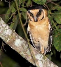Details : Buff-fronted Owl - BirdGuides Watch The Secret To Why Barn Owls Dont Lose Their Hearing 162 Best Owls Images On Pinterest Barn And Children Stock Photos Images Alamy Owl 10 Fascating Facts About Species List Az 210 Birds Drawing Photographs Of Cave By Tyler Yupangco 312 Beautiful Birds
