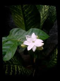 7 best Sampaguita Philippines National Flower images on Pinterest