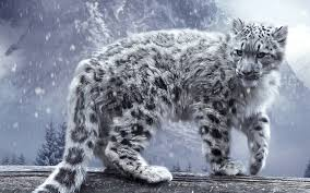 mountain cat leopard the beast snow mountain cat hd wallpaper
