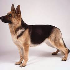 Dogs That Dont Shed A Lot by Short Haired German Shepherd Facts And Pictures