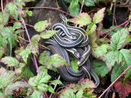 How To Get Rid Of Garter Snakes Without Killing Them: 7 Tried-and ... Diamondback Water Snake Indiana 1 Yard Long Youtube Snake Trap Cahaba Ewww Snakes 6 Tips To Keep Them Away From Your Home How A 14 Steps With Pictures Wikihow In The Duck House 9 Tips Help Repel Snakes Fresh Eggs Best Way Ive Found Yet Deal Problems Backyard Removal Wildlife Services Of South Florida Catch Deadly Safely Out Louisiana Department And Fisheries