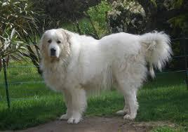 Cane Corso Mastiff Shedding by Best Guard Dog Breeds Playjunkie