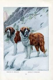 Do Smooth Coat St Bernards Shed by Saint Bernard Swiss Mountain Rescue Working Dog Dogs Pinterest