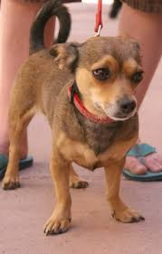 Do Long Haired Chiweenies Shed by Chiweenie Chiweenie And Son Pinterest Dachshunds Animal And Dog