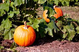 Pumpkin Patches Around Fort Worth Tx by Maps Curbed