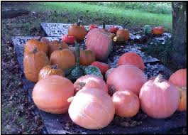 Pumpkin Picking In Waterbury Ct by Welcome To The Belinsky Farm