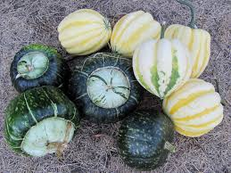 Keep Pumpkins From Rotting On Vine by How To Harvest Cure U0026 Store Winter Squash And Pumpkins