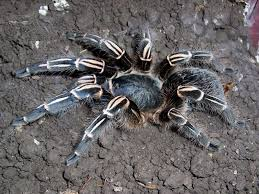 Do Tarantulas Molt Upside Down by Search For Information On Reptiles And Aphibians And Other Exotic