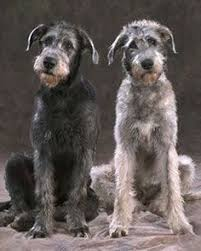 Irish Wolfhound Non Shedding by Is The Barbet A Hypoallergenic Dog Breed Hypoallergenic Dog
