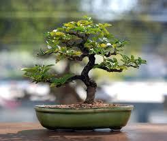 bonsai ein baum für die wohnung heimhelden