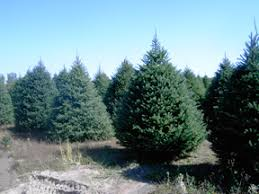 One Of The Best Things About A Real Christmas Tree Is That Each Unique No Two Are Ever Exactly Alike We Grow Several Varieties Trees So You
