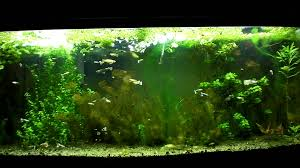 Guppy Planted Aquarium With Kitty Litter Substrate - YouTube Httpwwwaquariuesigngroupcomdataphotos Low Tech Tank Showandtell Low Tech Can Be Lush Too The Aquascaping Styles Aquariums Planted Aquarium And Fish Tanks 101 Best Small Size Images On Pinterest Aquarium Nature Style Aquascape Awards Best Substrate For Betta 268993 Concave Convex Triangular Rectangular Aquascapes Aquascapers With Plastic Plants Only _ Ideas 106 Fluval Edge Inspiration Ohko Stone Forum Art Theories Tips Keeping Basics Love