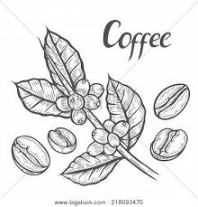 Hand Drawn Sketch Coffee Plant Branch With Leaf Berry Bean Fruit