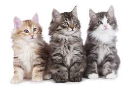 forest cat vs maine coon 5 things you didn t about the forest cat