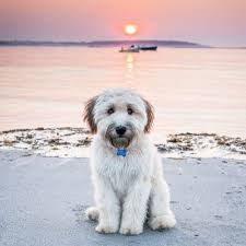100 wheaten terriers do they shed beauty large dog breeds