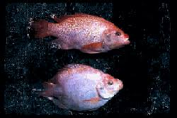 Global Spread And Invasion Of The Fish Species Tilapia Including Blue Nile Genera Represents A Case Good Intentions Gone Awry